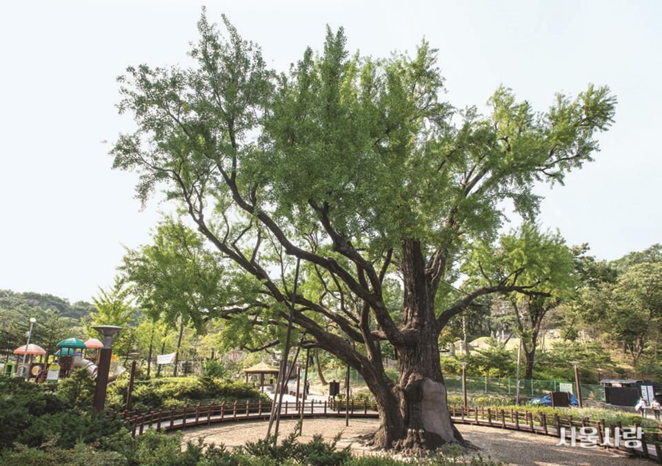 방학동 은행나무